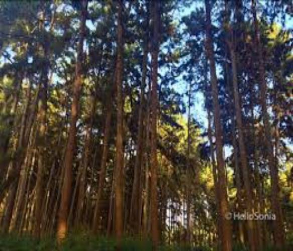 Ngwo Pine Forest1