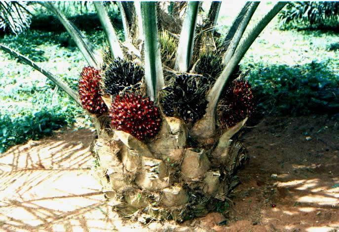 Nigerian Institute for Oil Palm Research